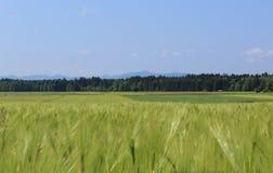 Сельский ландшафт с зеленым пшеничным полем Стоковые Изображения