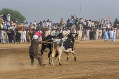 Сельский Пакистан, острые ощущения и бык великолепия участвуют в гонке Стоковые Фото