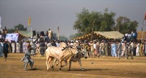 Сельский Пакистан, острые ощущения и бык великолепия участвуют в гонке Стоковое фото RF