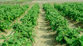 Сельское хозяйство завода яичка на поле Стоковая Фотография RF