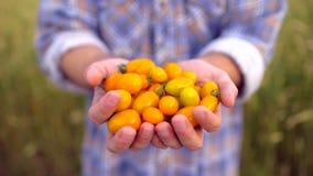 Сельское хозяйство и культивирования Фермер человека показывая овощи, томат, рынок фермера, желтую вишню томатов, органическую сток-видео