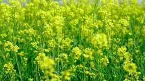 Сельское хозяйство мустарда на поле стоковое изображение
