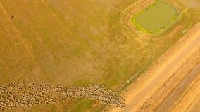 Сельское хозяйство овец сток-видео
