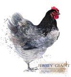 Сельское хозяйство птицы Цыпленок разводит серию отечественная птица фермы иллюстрация вектора