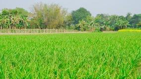 Сельское хозяйство риса в сезоне дождей Индии зеленый цвет, альбомный режим стоковая фотография