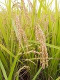 Сельское хозяйство риса Стоковое Фото