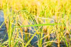Сельское хозяйство риса Стоковое Изображение RF