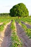 сельскохозяйственне угодье casava Стоковая Фотография RF