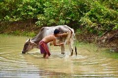Сельчанин заботя для его коровы стоковое фото rf