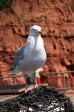 сельди чайки Стоковая Фотография RF