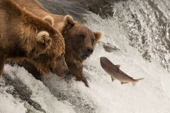 Семга скачет к 2 медведям на водопаде Стоковая Фотография