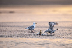 Семга съеденная половиной брызгает чайку моря Стоковое фото RF
