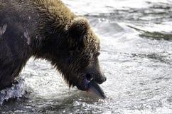 семги аляскского коричневого цвета медведя заразительные Стоковые Фотографии RF