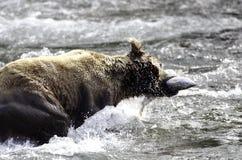 семги аляскского коричневого цвета медведя заразительные Стоковое фото RF