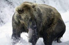 семги аляскского коричневого цвета медведя заразительные Стоковые Изображения RF
