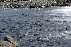 Семги в потоке Стоковая Фотография RF