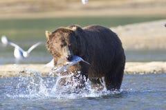 семги медведя коричневые стоковая фотография rf