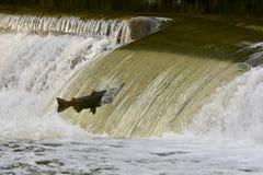 Семги скача перед на запруду реки Стоковая Фотография RF