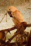 семги crested cockatoo Стоковые Фотографии RF