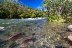 Семги Sockeye в реке Gulkana, Аляске Стоковые Изображения