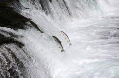 Семги Sockeye скача вверх по падениям ручейков Стоковые Фотографии RF