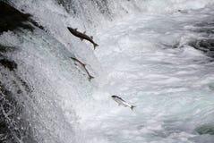 Семги Sockeye скача вверх по падениям ручейков Стоковое Изображение RF