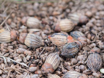 Семена ладони на земле Стоковые Изображения