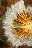 Семена воды и одуванчика Стоковые Фото