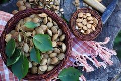Семена высушенного абрикоса, взгляд сверху Стоковые Изображения