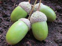 Семена жолудя Стоковые Изображения RF