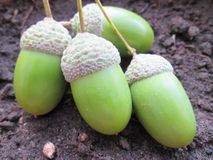 Семена жолудя Стоковое Фото