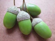 Семена жолудя Стоковые Фото