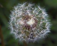 Семена засорителя Стоковые Фотографии RF