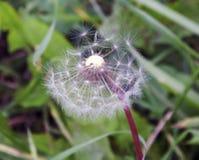 Семена засорителя Стоковое Изображение