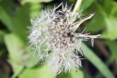 Семена засорителя Стоковая Фотография