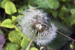 Семена засорителя Стоковые Изображения