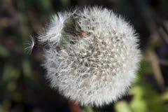 Семена засорителя Стоковые Изображения RF