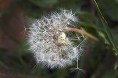 Семена засорителя Стоковое фото RF