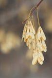 Семена золы Стоковое Изображение RF