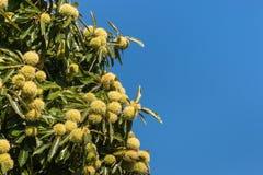 Семена и листья сладостного каштана Стоковая Фотография RF