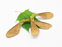 Семена и лист клена стоковая фотография