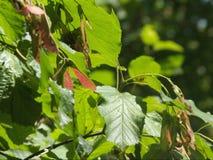 Семена клена под солнцем лета стоковые изображения