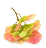 семена клена Стоковые Фотографии RF