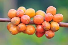 Семена кофе стоковые изображения