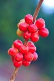 Семена кофе стоковое фото rf
