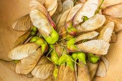Семена клена в шаре Стоковая Фотография RF