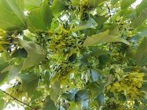 Семена кленового листа на дереве Стоковые Изображения RF