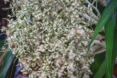 Семена ладони конца-вверх свежие сырцовые белые на дереве Стоковые Фотографии RF