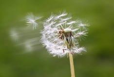 семена летания одуванчиков пушистые Стоковая Фотография RF