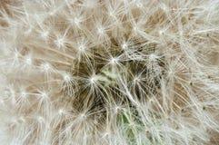 Семена макроса одуванчика Стоковые Фото